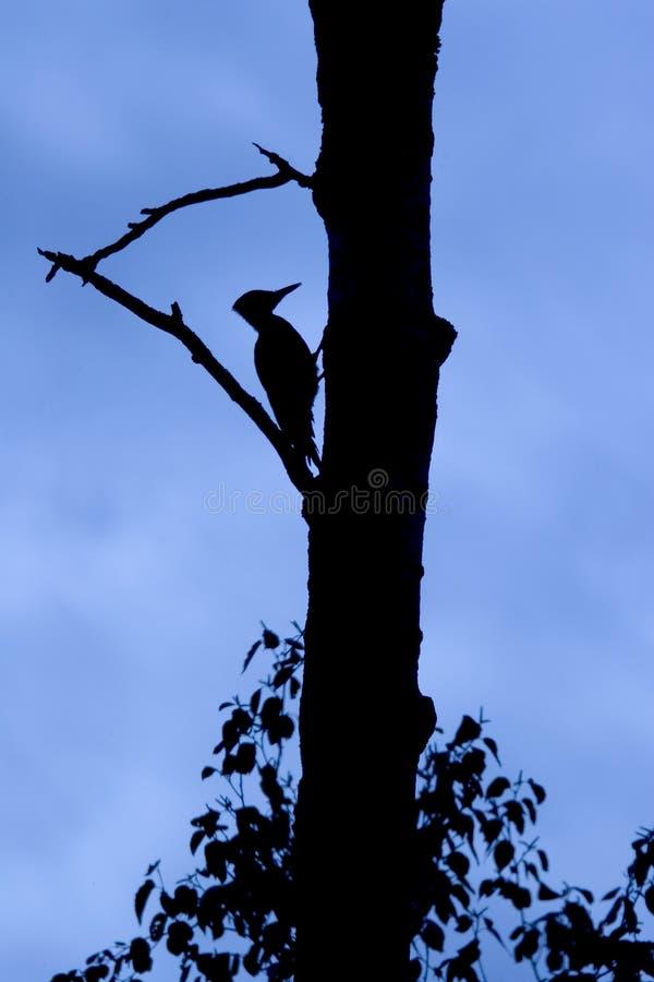 woodpecker силуэта стоковая фотография