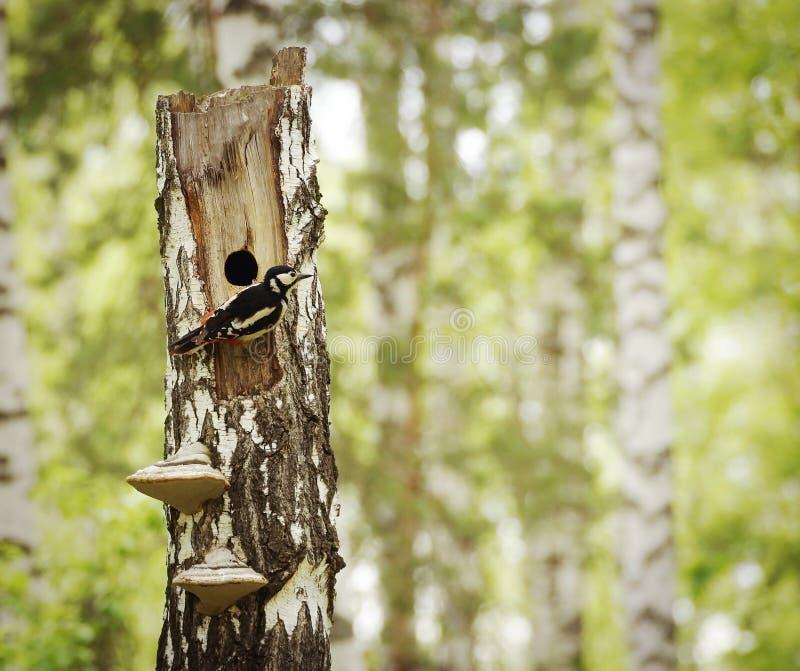 Woodpecker сидит рядом с полостью на сухой березе стоковые фотографии rf
