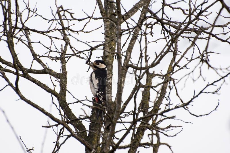 Download Woodpecker stock foto. Afbeelding bestaande uit pictogram - 107700732
