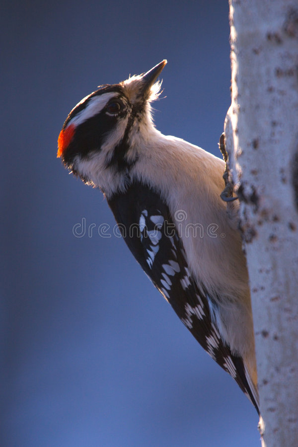 Woodpecker. A red crested woodpecker goes to work on a poplar tree royalty free stock photography
