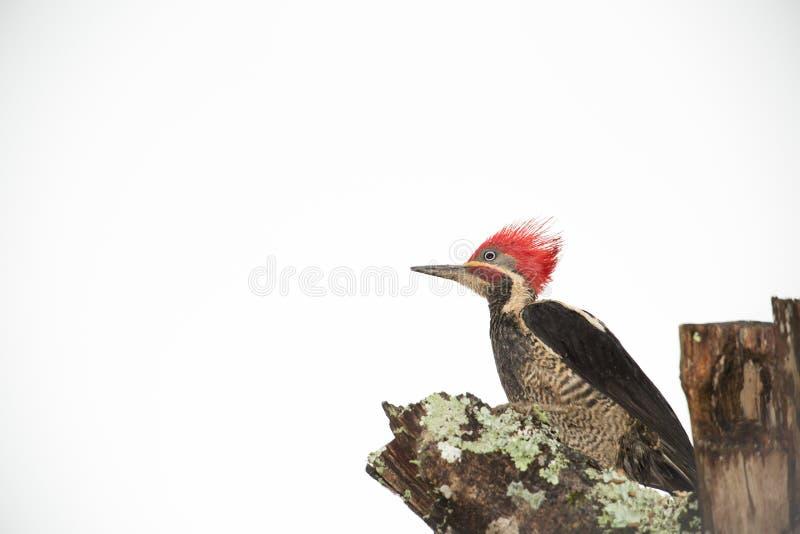 woodpecker стоковые изображения