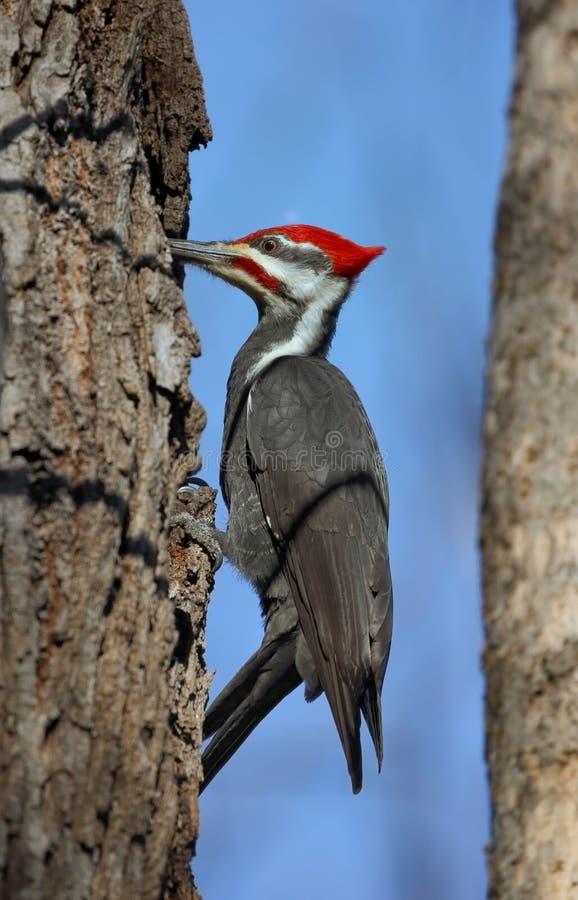 woodpecker стоковые изображения rf