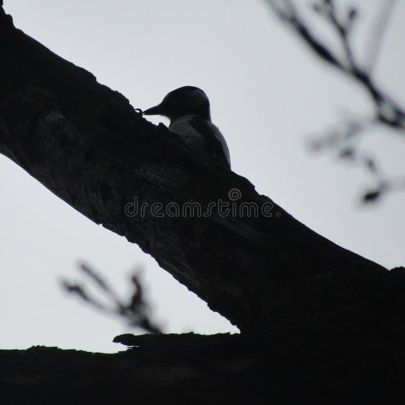 woodpecker stock fotografie