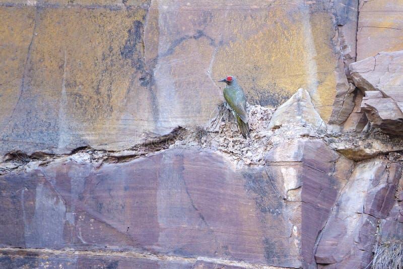woodpecker stock afbeeldingen