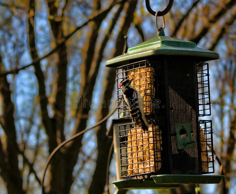 woodpecker стоковое фото rf
