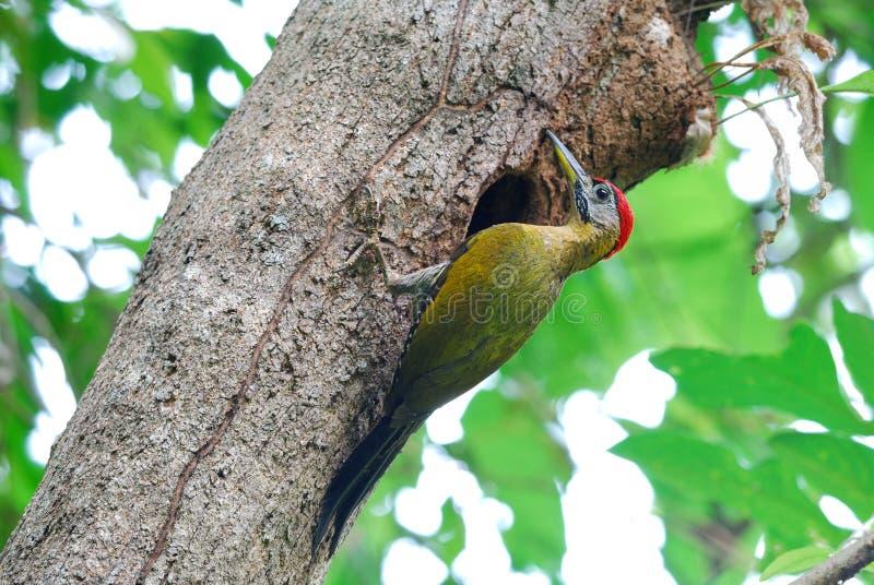 Woodpecker atado macho fotografia de stock royalty free