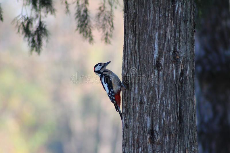 A woodpecker. A woodpecker in the autumn park royalty free stock image