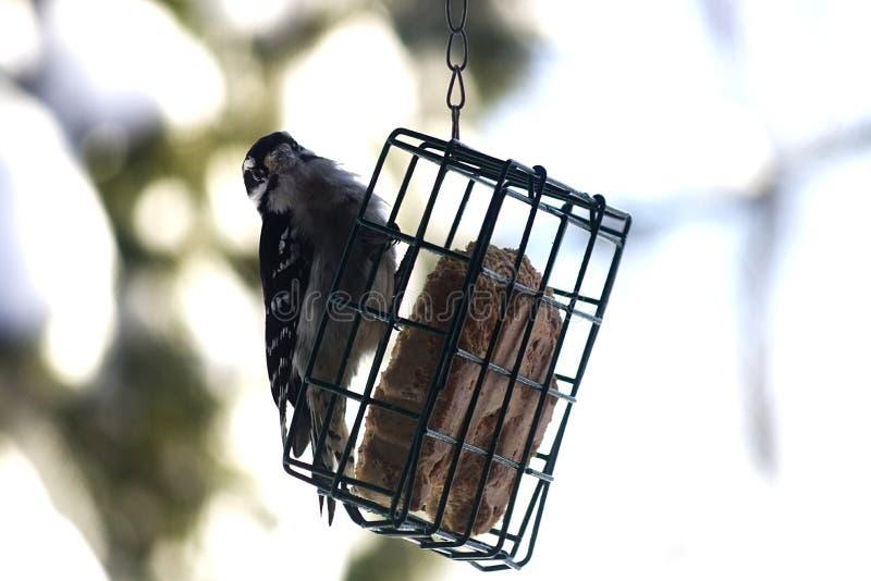 Woodpecker on a bird feeder. Woodpecker Bird on a feeder looking around stock images