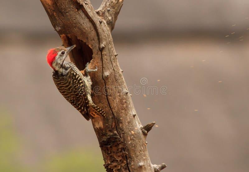 Woodpecker cardinal picotant image stock