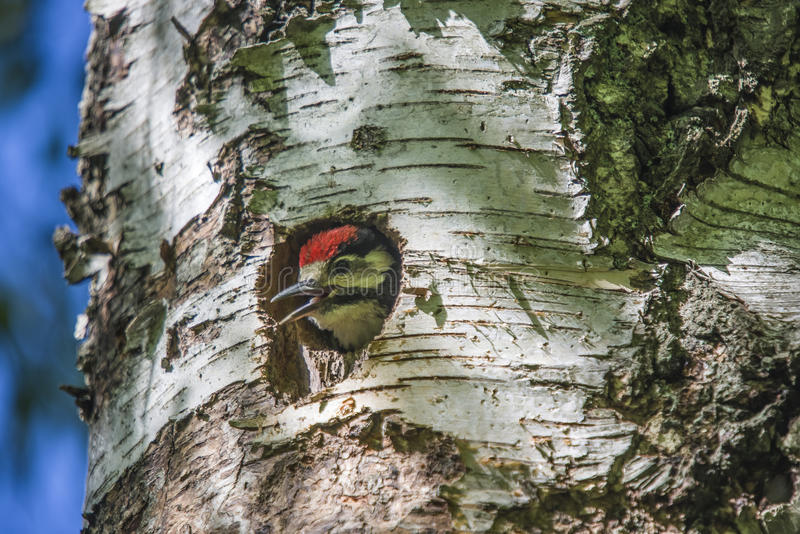 Woodpecker chick looks astonished at the vast world. Photo was shot in a forest on Red's rock mountain in Halden, Norway and showing a great spotted woodpecker royalty free stock photography