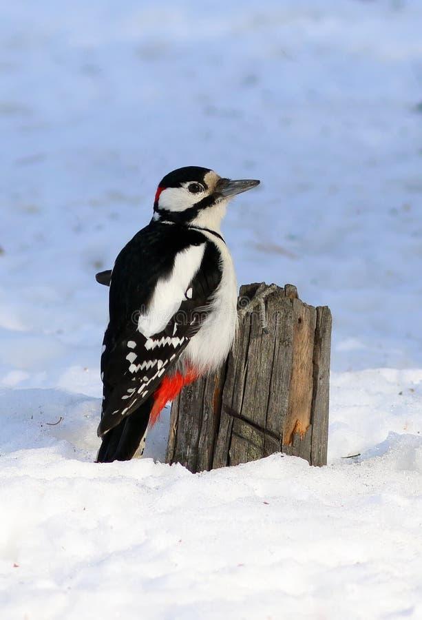 woodpecker dendrocopos женский большой главный запятнанный Большое запятнанное усаживание на старом пне стоковые фотографии rf