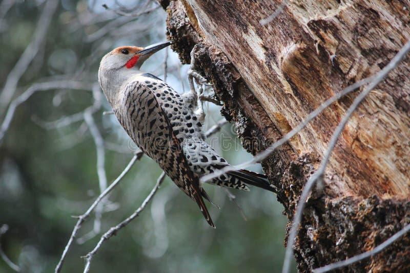 Woodpecker dourado da cintilação fotos de stock