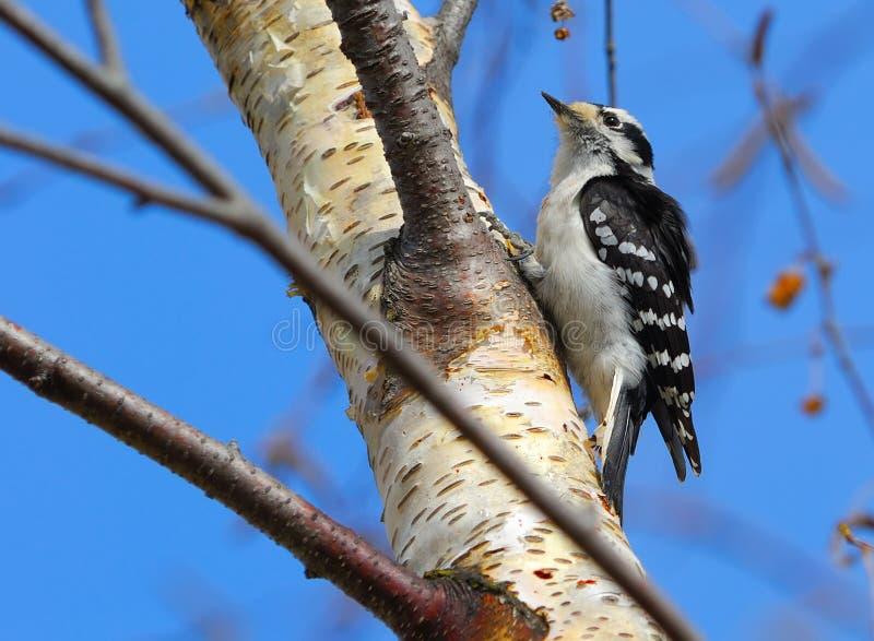Woodpecker Downy fêmea imagens de stock royalty free