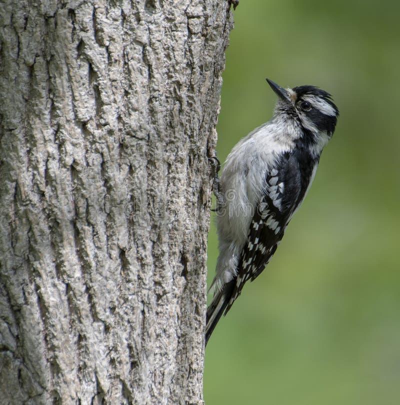 Woodpecker Downy f?mea fotos de stock royalty free