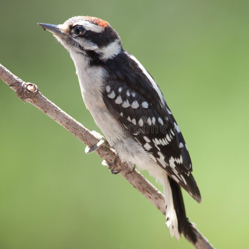 Woodpecker downy masculino fotografia de stock royalty free