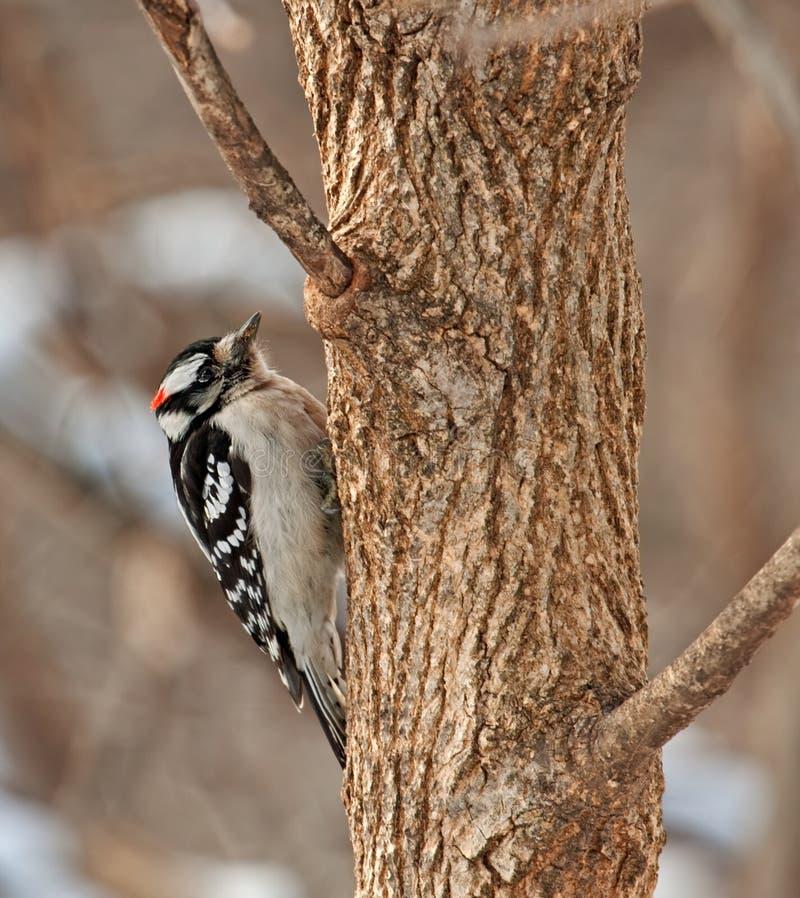Woodpecker Downy masculino, pubescens do Picoides fotos de stock royalty free