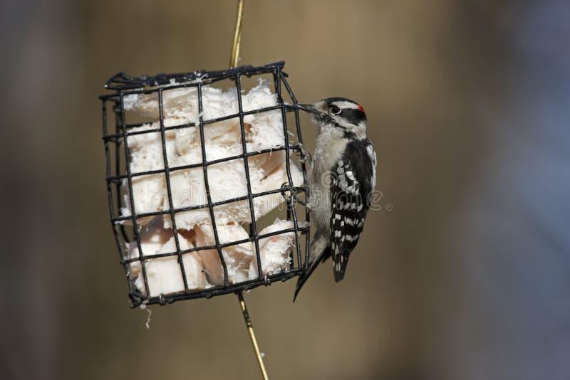 Woodpecker Downy (medianus dos pubescens do Picoides) imagem de stock