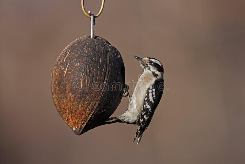 Woodpecker Downy (medianus dos pubescens do Picoides) fotografia de stock