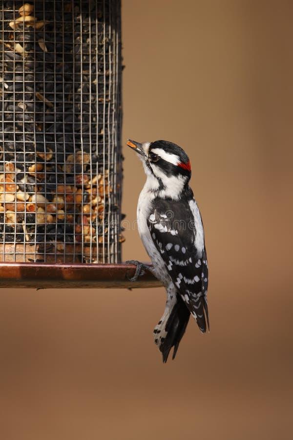 Woodpecker Downy (medianus dos pubescens do Picoides) fotos de stock
