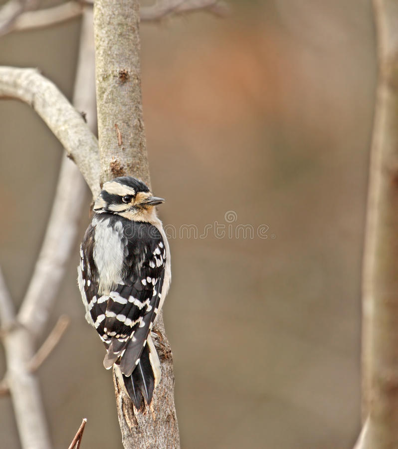 Woodpecker Downy (pubescens do Picoides) fotografia de stock royalty free