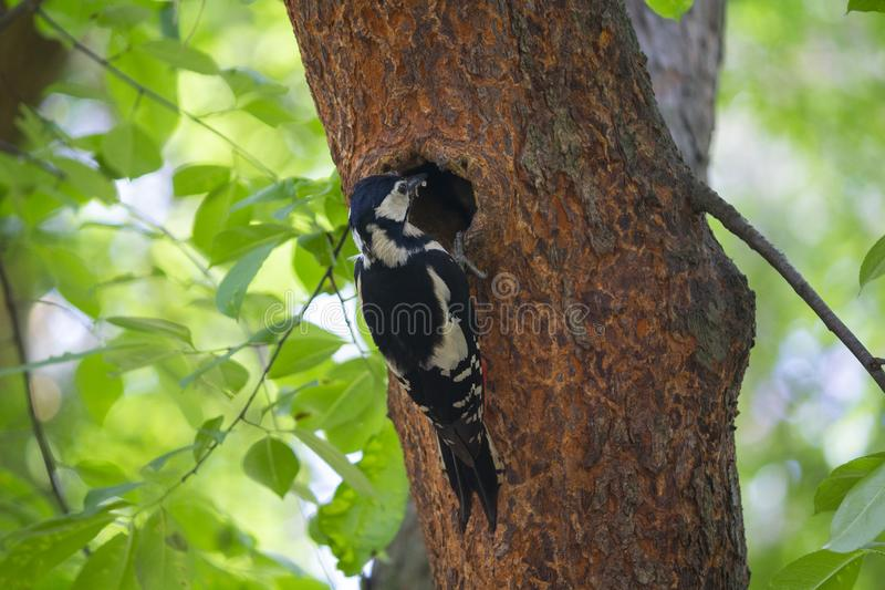 Woodpecker feeds chicks sitting near the hollow. Birds royalty free stock photography