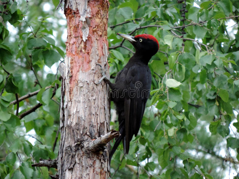 The woodpecker. In the forest stock photos