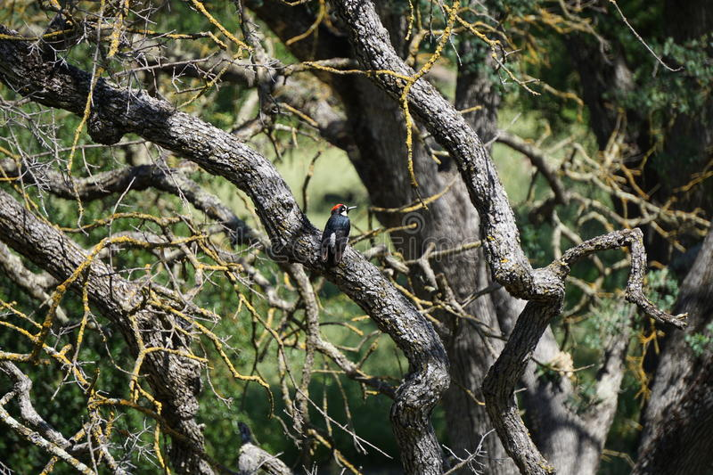 Woodpecker Forest royalty free stock photos