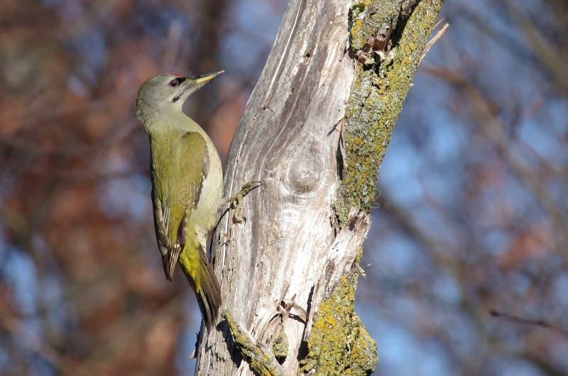Woodpecker Grey-headed imagem de stock royalty free