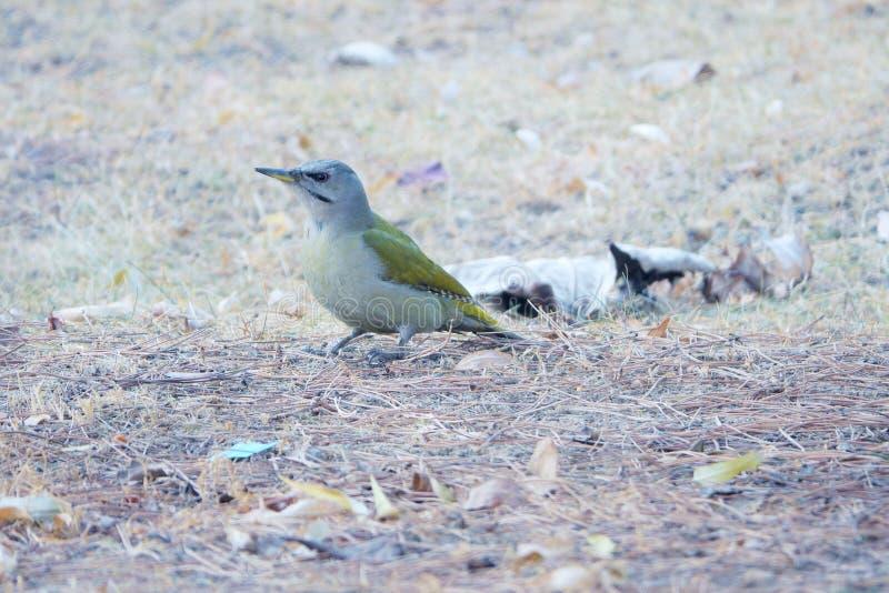 Woodpecker Grey-headed fotografia de stock royalty free