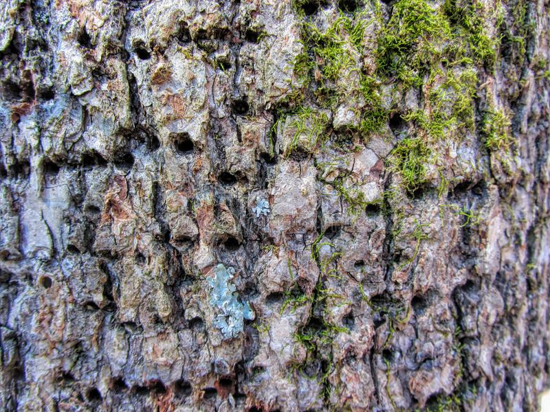 Woodpecker Holes in Pecan Tree Bark. These are the holes made by woodpeckers in pecan tree bark royalty free stock photo
