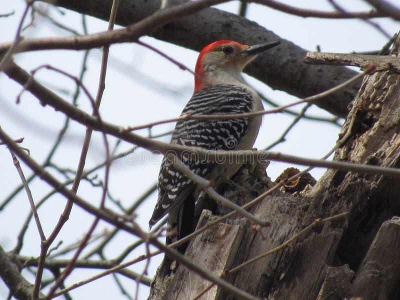 Woodpecker inchado vermelho foto de stock