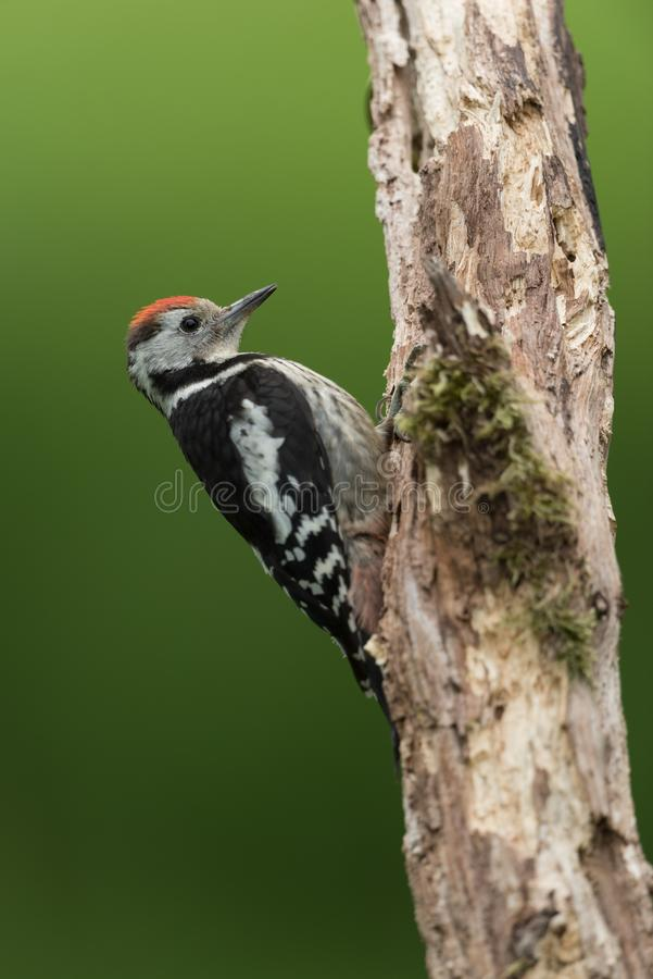 Woodpecker manchado médio fotografia de stock