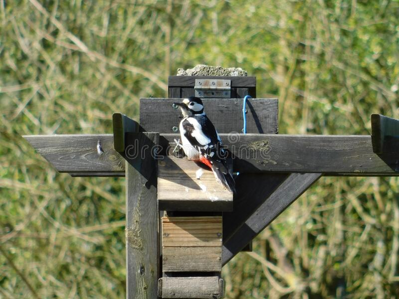 Woodpecker on a manger in my garden. A cute female great spotted woodpecker on a manger in my organic garden in France royalty free stock photography
