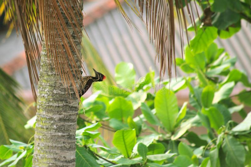 Woodpecker on the side of a Coconut tree. A woodpecker pecking away at the side of a Coconut tree royalty free stock images