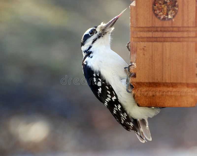 Woodpecker peludo imagens de stock royalty free