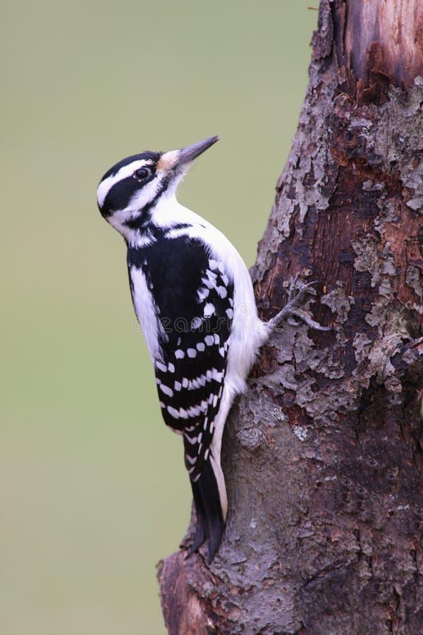 Woodpecker peludo foto de stock royalty free