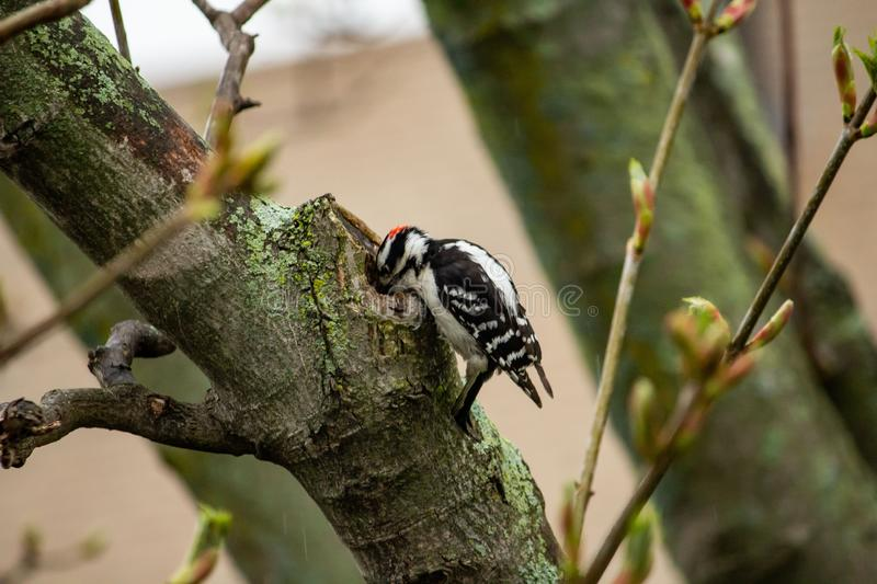 Woodpecker perched on a tree with its beak inside a thick branch stock images