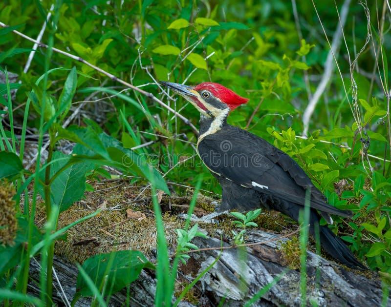 Woodpecker Pileated в Cade& x27; бухта s стоковое фото