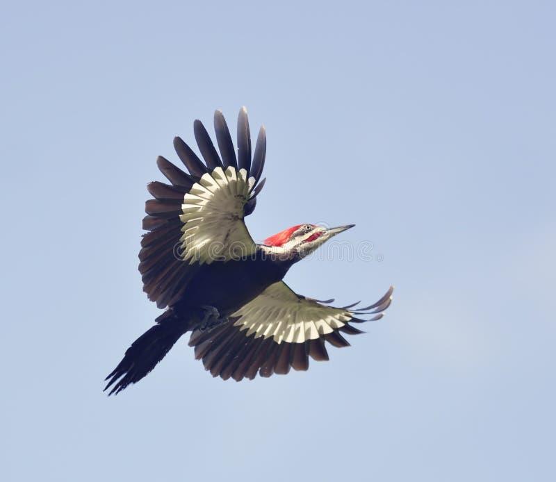 woodpecker pileated мужчиной стоковые фото