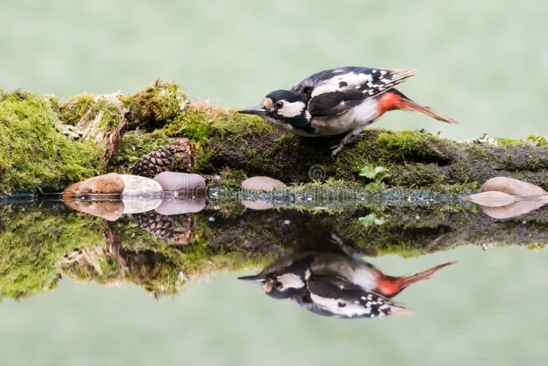 Woodpecker reflection stock photos