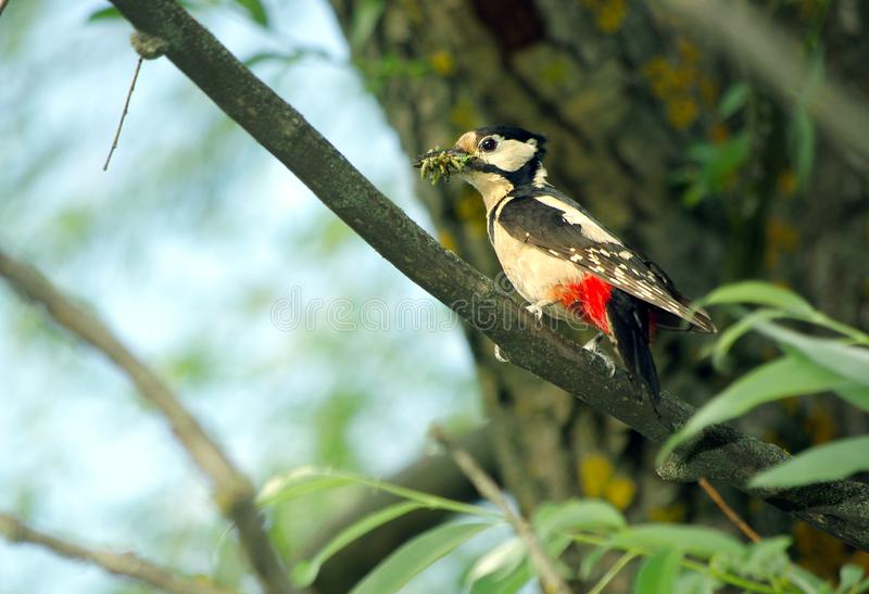 Woodpecker sitting on a branch. Close-up stock photos