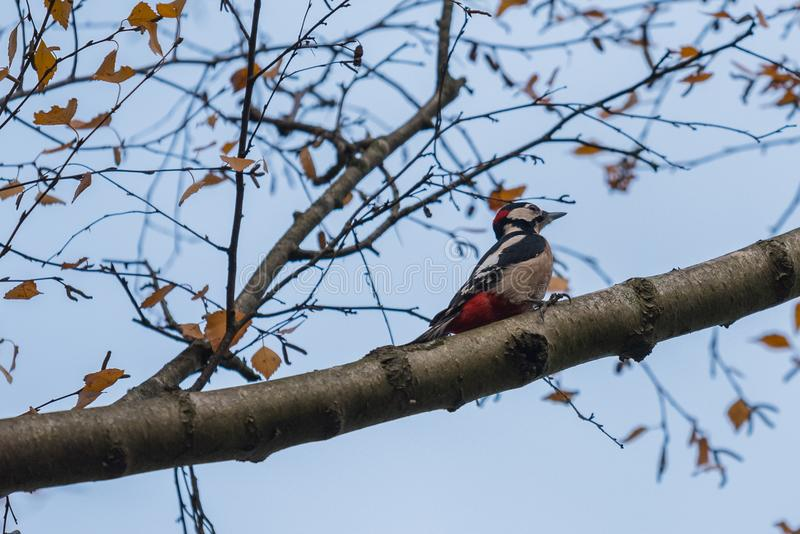 A woodpecker is sitting on a branch in a tree. In Germany royalty free stock photos