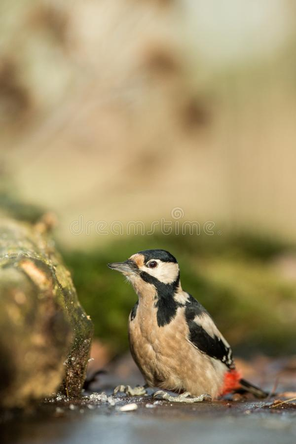 Woodpecker sitting on lichen shore of pond water in forest with clear bokeh background and saturated colors, Germany. Black and white bird in nature forest royalty free stock photos