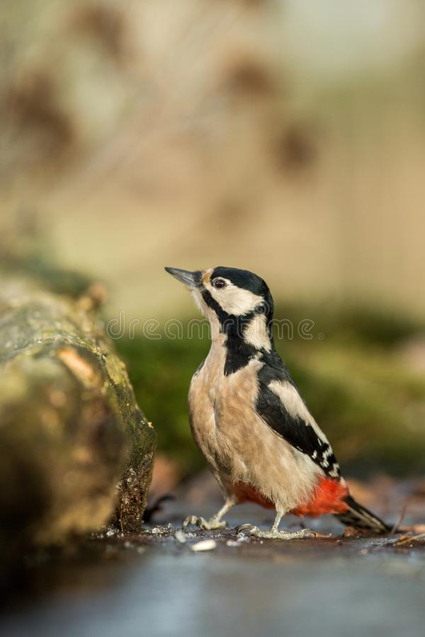 Woodpecker sitting on lichen shore of pond water in forest with clear bokeh background and saturated colors, Germany,. Black and white bird in nature forest royalty free stock image