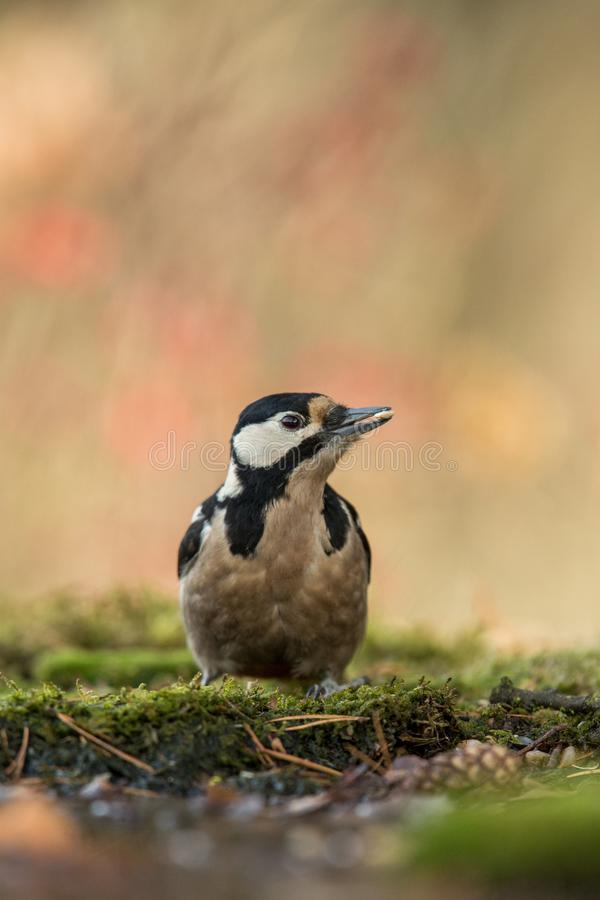 Woodpecker sitting on lichen shore of pond water in forest with clear bokeh background and saturated colors, Germany. Black and white bird in nature forest stock photo