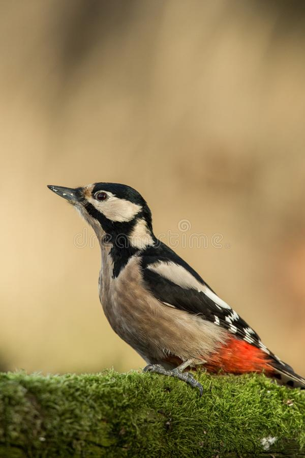 Woodpecker sitting on lichen shore of pond water in forest with clear bokeh background and saturated colors. Germany,black and white bird in nature forest royalty free stock photography