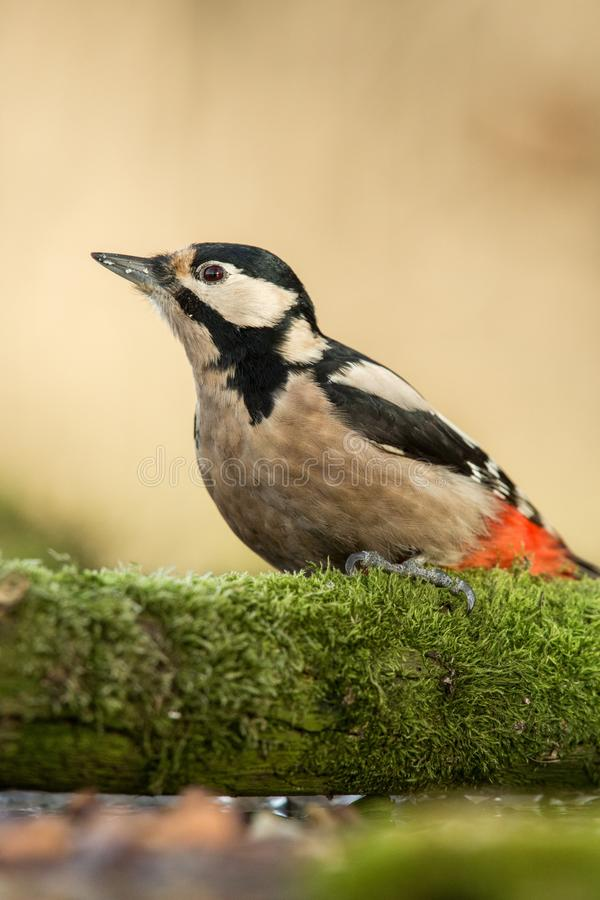 Woodpecker sitting on lichen shore of pond water in forest with clear bokeh background and saturated colors. Germany,black and white bird in nature forest stock image