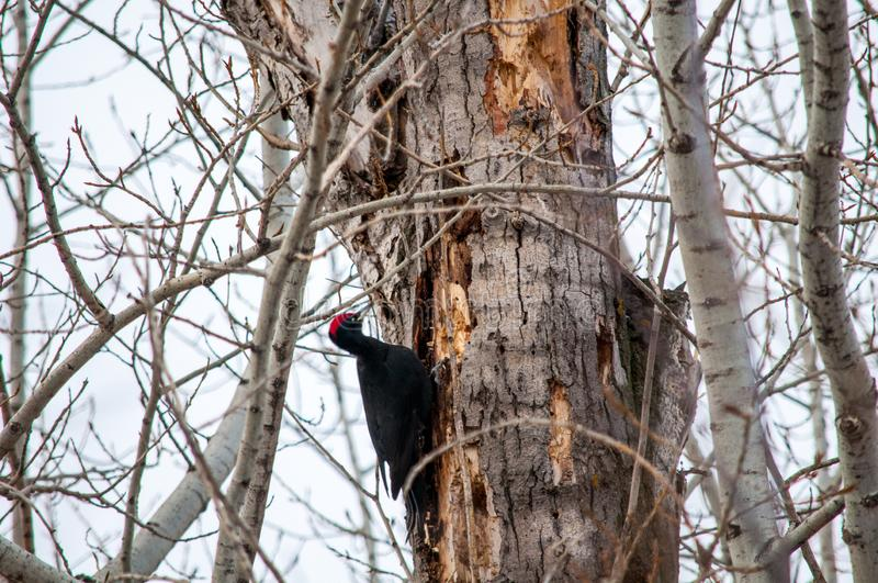 Woodpecker sitting on the tree. And produces his own food royalty free stock photography