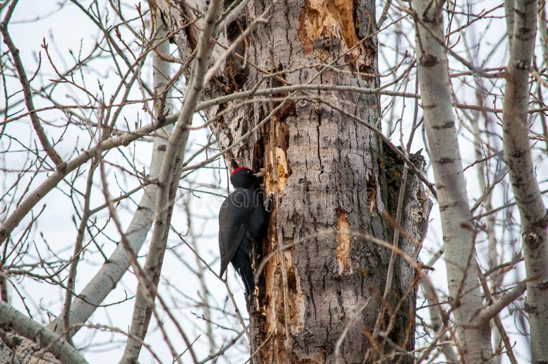Woodpecker sitting on the tree. And produces his own food stock photos