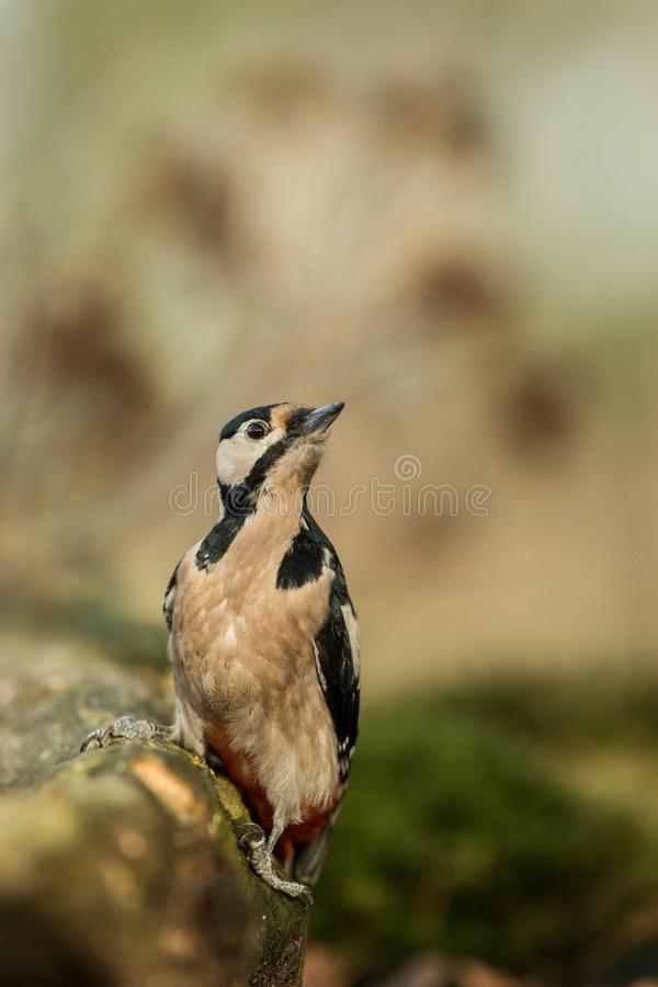Woodpecker sitting on tree trunk in forest with clear bokeh background and saturated colors, Germany. Black and white bird in nature forest habitat, wildlife stock images